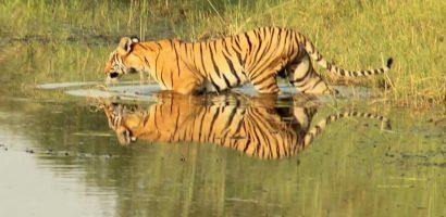 The Hidden Tiger - Plight of the Captive Tiger